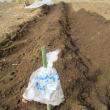 ジャガイモを植える。