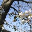 桜が、咲き始めました。