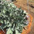 ブロッコリーの収穫が続きます。