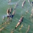 2018年にブリストル湾のベニサケが勃興する見通し