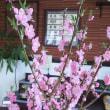花もも、ローズマリー咲いてます