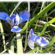 早春の花(^^♪花言葉「勇気」 アヤメの仲間の中で寒さの中で一番に美しい花を咲かせる「寒咲文目・菖蒲(かんざきあやめ)」