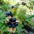 小花のアニソドンテア・ノボタン・ヒオオギの実 (17-1122)