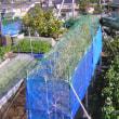 実豌豆(グリンピース)栽培、支柱、枠、竹、ネット取り付け