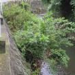 河川の護岸から樹木が伸びて、木の根っこが大きくなっています。