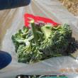 今日の収穫 ハクサイ キャベツ カブ ブロッコリー