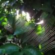 光るクモの巣