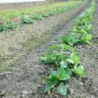 空豆、春に向かう畑。
