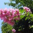 季節の花「百日紅 (さるすべり