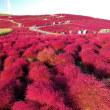 国営ひたち海浜公園の2017年秋・・コキアの丘は紅色