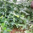 落花生を収穫してみました