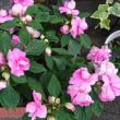 カリフォルニアローズ・フィエスタ(バラ咲きインパチェンス)
