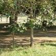 原爆の近くにあった柿の木