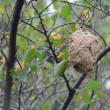 よく行く公園で、スズメバチの巣が見えた。