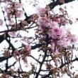 散歩道の、、寒桜が咲きだして、、。