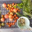 今日の収穫 トマト オクラ キュウリ ミョウガ トウガラシ類 うまい菜 青シソ