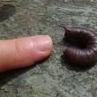 初めて見たスズメガの幼虫です