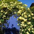 モッコウバラがとっても綺麗な季節!