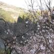 城峰山の冬桜は今見ごろを迎えています。
