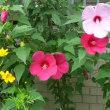 芙蓉と木槿の花