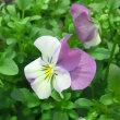 フローラルパワーピンクレモンリップの花は