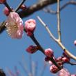 japanes   apricot