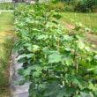 コットンの栽培も佳境