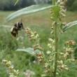 「風媒花」にマルハナバチ