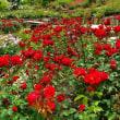 花の文化園にて・・・バラ・4