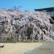 高取町専修坊の垂れ桜
