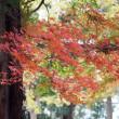 日曜散歩:蝋梅の実、コゲラなど