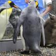 キングペンギンお家の事情5
