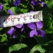 コンポストを隠す★花茎の短いチューリップ