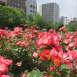 札幌大通公園 バラ園