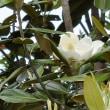 泰山木が~~咲いたよ~~