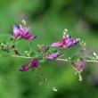 萩の花(Ⅰ)