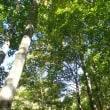 石徹白の白山中居神社と石徹白の大杉 2