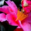 山茶花が咲いています