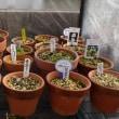 スミレの育て方2月 スミレの管理 簡易ビニール温室のスミレの鉢は?