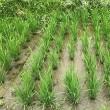番外編【苗の本数と収穫量の関係・実験/6週間目】