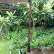 庭のビワの木のつぼみ