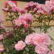 「国際バラとガーデニングショウ 2018」の薔薇たち