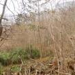 萩の里自然公園に キリ(桐) 発見