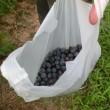 '18.0715 ブルーベリーの収穫
