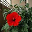 今年も咲きました!ハイビスカス