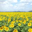 向日葵の花