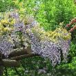 「今年の藤の花の写真をお楽しみ下さい」
