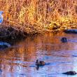 夕陽を浴びるシラサギ、桐生川にて、2019年1月