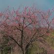 3/17 渡良瀬遊水地の葦焼