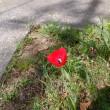 4月9日(月)のつぶやき🎵👏路傍の一輪の赤いチュウリップが花開く!👏👏🙏